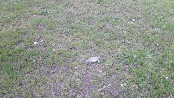 Topo morto in piazza Umberto