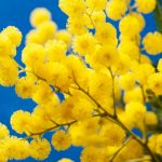 Perché l'8 marzo ci si regala la mimosa?