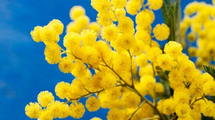 Perché l'8 marzo si regala la mimosa?